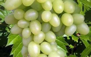 Виноград елена описание сорта фото