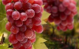 Виноград на зимовку видео