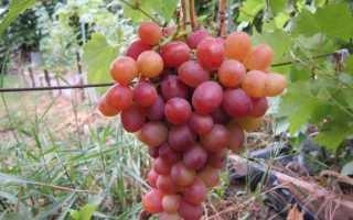 Виноград ливия отзывы форум