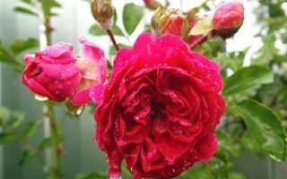 Плетистая роза посадка и уход в открытом