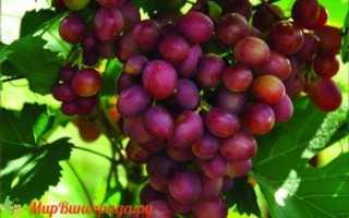 Виноград малиновый супер описание сорта фото отзывы