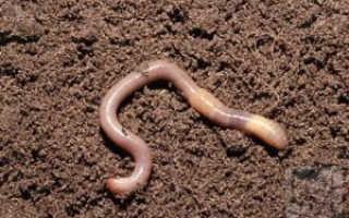 Как передвигаются дождевые черви в почве