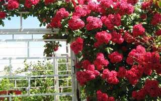 Обрезка плетистых роз на зиму в подмосковье