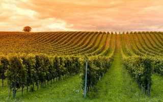 Формирование винограда схема самая простая