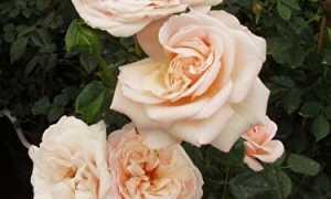 Роза ленни фото и описание