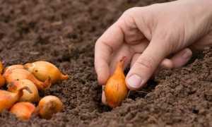 Как правильно посадить озимый лук осенью