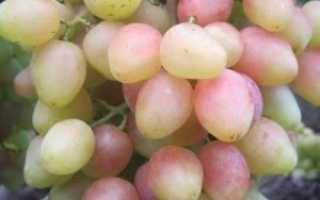 Виноград ксения анжелика описание сорта фото