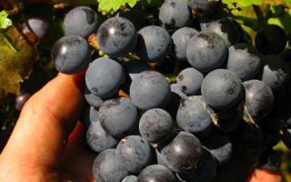 Сорта винограда фиолетового цвета