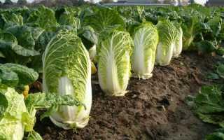 Как выращивать пекинскую капусту в огороде