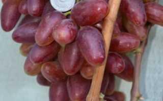 Виноград полонез описание сорта фото отзывы видео