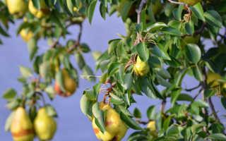Как посадить грушу если близко грунтовые воды