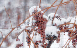 При какой температуре надо закрывать виноград