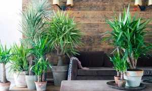 Как обрезать пальму юкка в домашних условиях