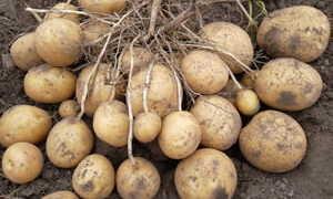 К какому типу плода относится картофель