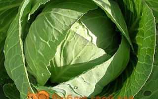 Сорта белокочанной капусты с фото и описанием