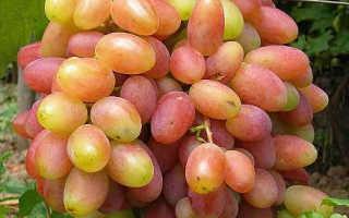 Юбилей новочеркасска виноград видео