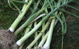 Как сажать лук порей семенами