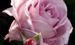 Роза холодная вода фото и описание