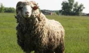 Самые крупные овцы в мире
