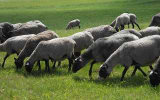 Сколько весит овца романовской породы