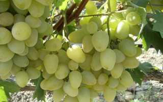 Сорт винограда жизель фото и описание