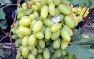 Виноград невеста описание сорта фото отзывы