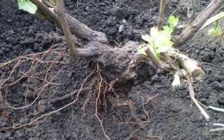 Как пересадить двухлетний виноград осенью
