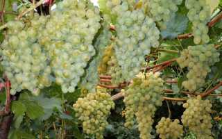 Сорт крупного белого винограда сканворд