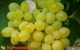 Сорт винограда кишмиш коктейль