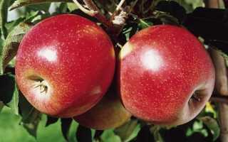 Яблоко дюшес описание сорта
