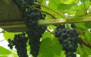 Виноград богатырь описание сорта фото отзывы