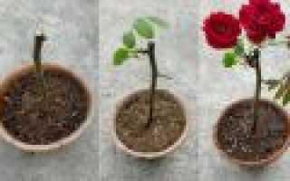 Как у розы вырастить корни
