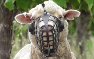 Овца щиплет траву движимый