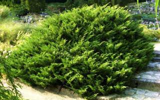 Можжевельник казацкий juniperus sabina