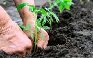 Как садить рассаду помидор в открытый грунт