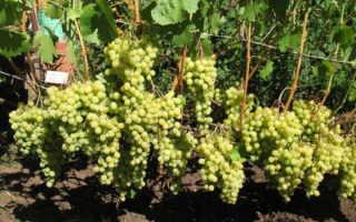Виноград без косточек для подмосковья