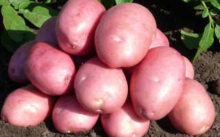 Картофель балтик роуз описание сорта отзывы