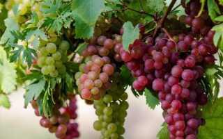 Строение виноградного куста схема