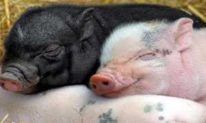 Какая порода свиней самая выгодная для бизнеса