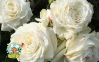 Плетистые розы в саратове