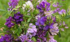 Люцерна однолетнее или многолетнее растение