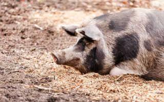 Черно пестрая порода свиней