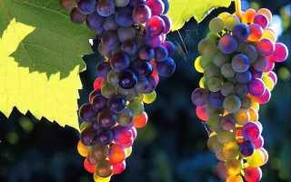 Подкормка винограда в сентябре