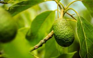 Как растет авокадо в природе фото