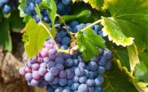 Виноград аглая описание сорта фото отзывы