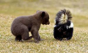Едят ли медведи падаль