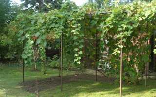Винные сорта винограда в московской области