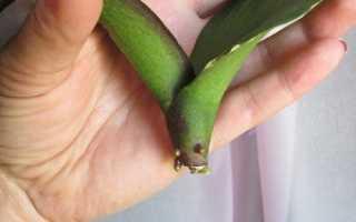 Орхидея фаленопсис без корней реанимация