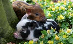 Цветок свиные ушки фото