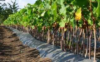 Когда надо сажать виноград